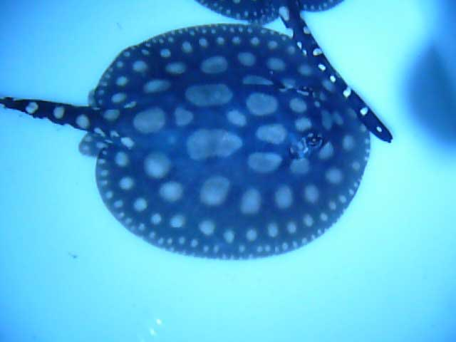 Potamotrygon Leopoldi Black Diamond